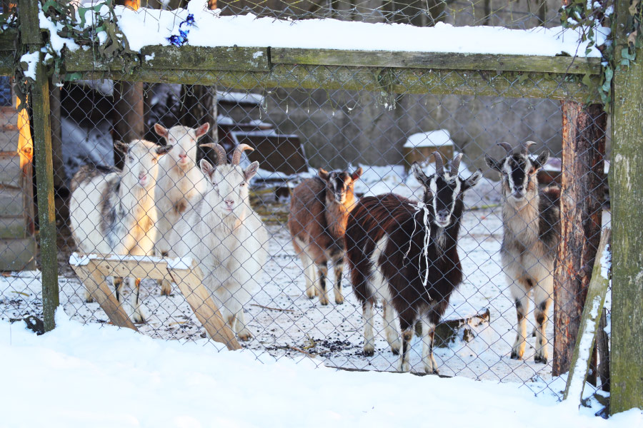 goats winter